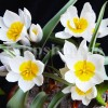 Bulbi Lalele Polychroma (Tulip)