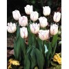 Bulbi Lalele Shirley (Tulip)