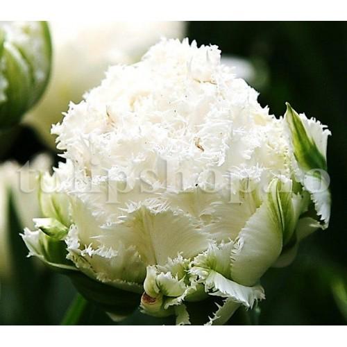 Bulbi Lalele Snow Crystal (Tulip)
