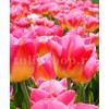 Bulbi Lalele Tom Pouce (Tulip)