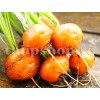 Seminte morcov Parisian Market 4 5000buc.