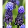 Bulbi Muscari Latifolium