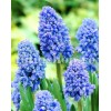 Bulbi Muscari Blue Spike