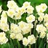 Bulbi Narcise Cheerfulness