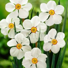 Bulbi Narcise Actaea