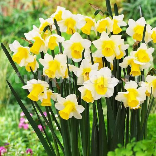 Bulbi Narcise Golden Echo