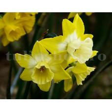 Bulbi Narcise Hillstar