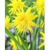 Bulbi Narcise Rip van Winkle