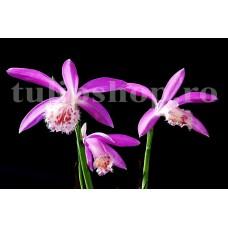 Bulbi Pleione Formosana (Orhidee)