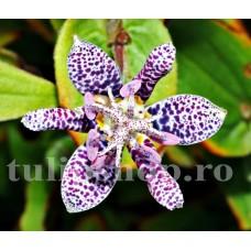 Bulbi Tricyrtis Hirta (Orhidee)