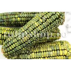 Seminte porumb dulce Oaxacan Green 30buc.