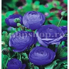 Bulbi Ranunculus Albastru (Piciorul Cocosului)