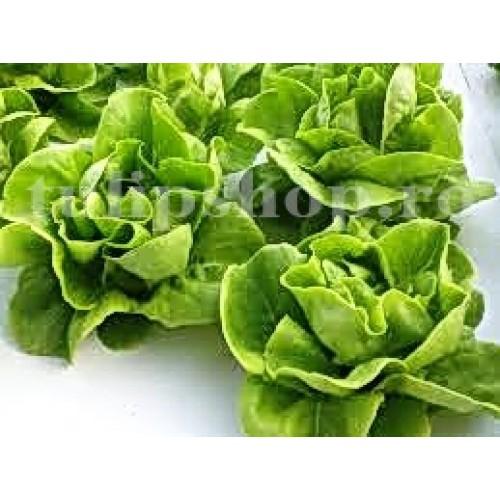 Pachet XXL seminte salata iarna Imperial Winter 20.000buc.