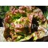 Seminte salata Merveille de Quatre Saisons 1000buc.