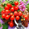 Pachet XXL seminte tomate Red Fig 1000buc.