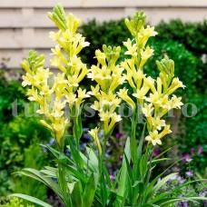 Bulbi Tuberoze Golden Harvest (Polianthes)