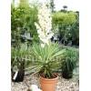 Bulbi Yucca Filamentosa
