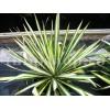 Bulbi Yucca Golden Sword