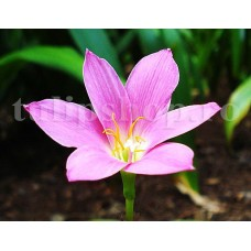 Bulbi Zephyranthes Rosea